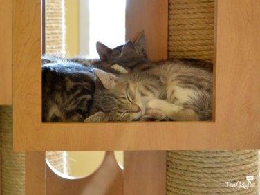 kittens in community cat room at shelter