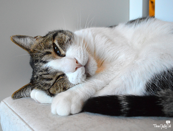 tired looking gray and white tabby cat