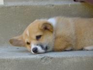 corgi-puppy-489