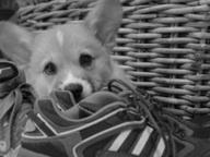 corgi-puppy-503