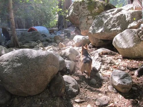 Corgi at camp