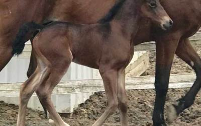 2018 Manchester Royal Rose Colt