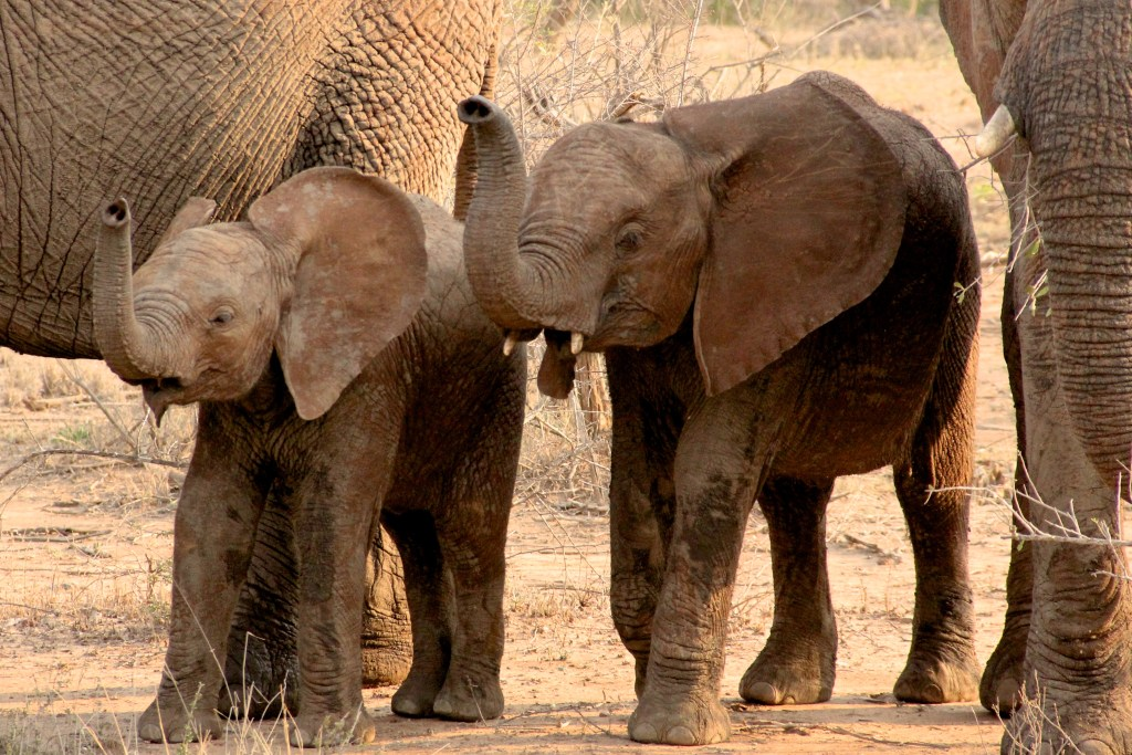 Baby Elephants Practicing Synchro in Kruger on Safari