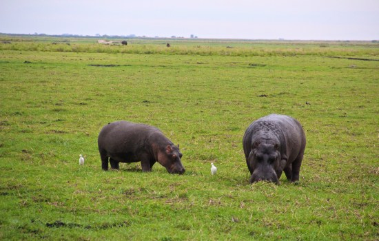 Hippos on the Chobe River Sunset Cruise