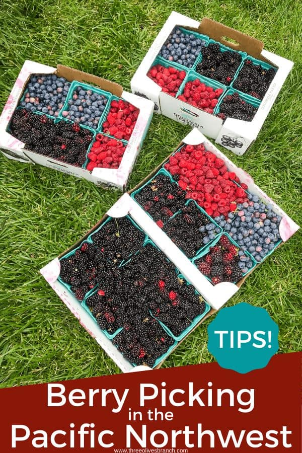 Pin image for Berry Picking in the Pacific Northwest (Sauvie Island, Portland, Oregon) of berry trays with title at bottom