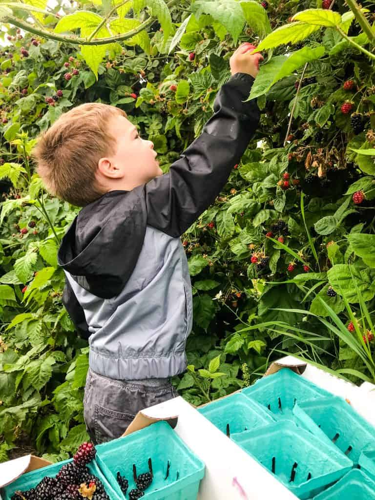 A boy pulling a berry off a bush Berry Picking in the Pacific Northwest (Sauvie Island, Portland, Oregon)