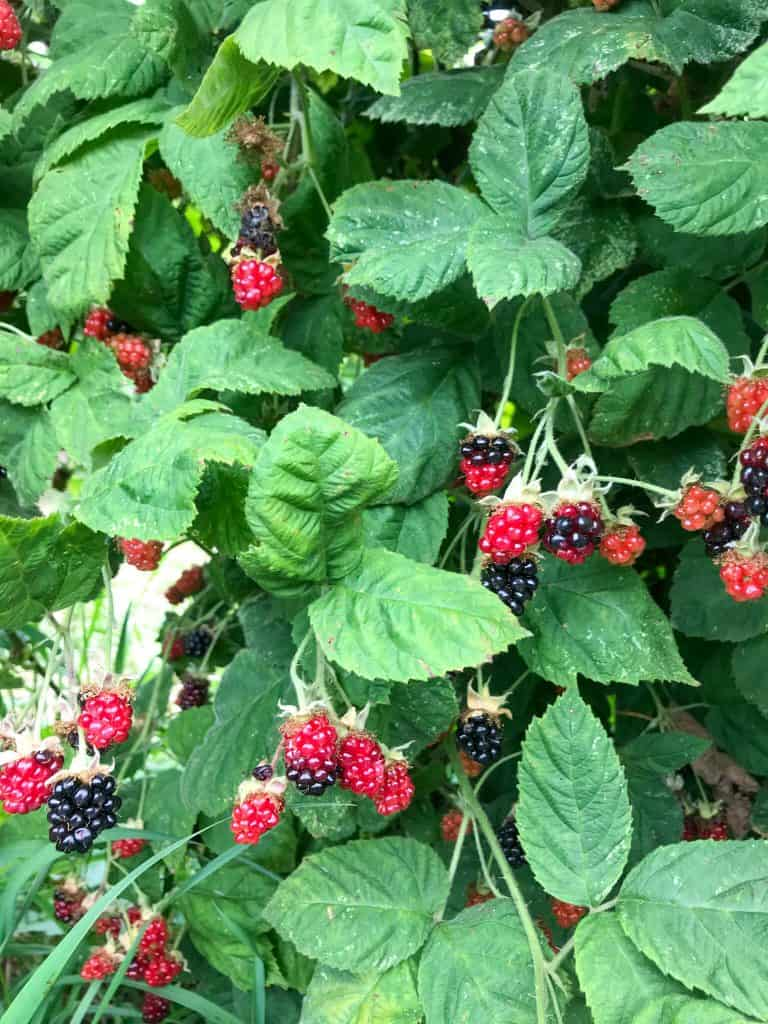A marionberry bush with berries ripening for Berry Picking in the Pacific Northwest (Sauvie Island, Portland, Oregon)