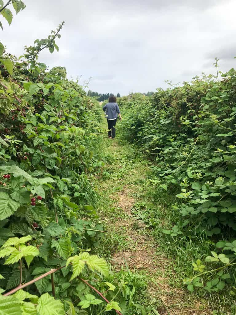 Wandering the berry bushes in Sauvie Island, Portland, Oregon