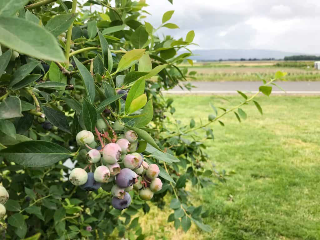 A blueberry bush on a farm for Berry Picking in the Pacific Northwest (Sauvie Island, Portland, Oregon)