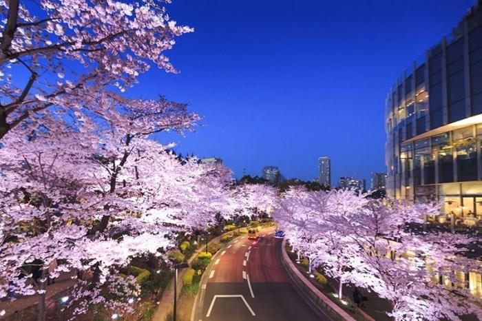 東京夜櫻必賞!MIDTOWN BLOSSOM 2021 東京六木本超人氣櫻花隧道!