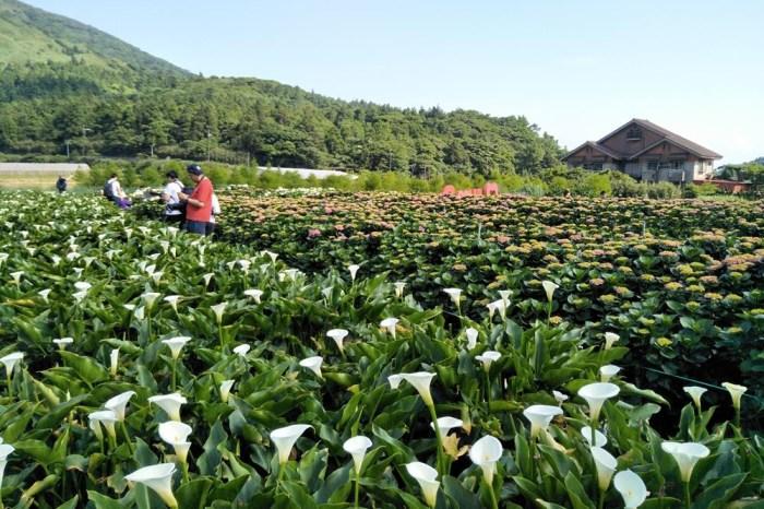 【2021陽明山竹子湖海芋季】花季時間、交通管制、賞花專車、陽明山住宿