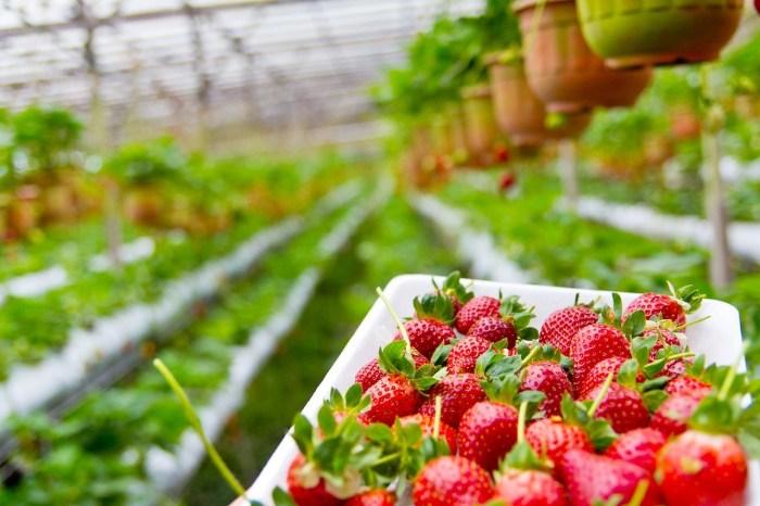 【2021內湖草莓季】白石湖20家草莓園、採草莓行程、交通、內湖住宿攻略