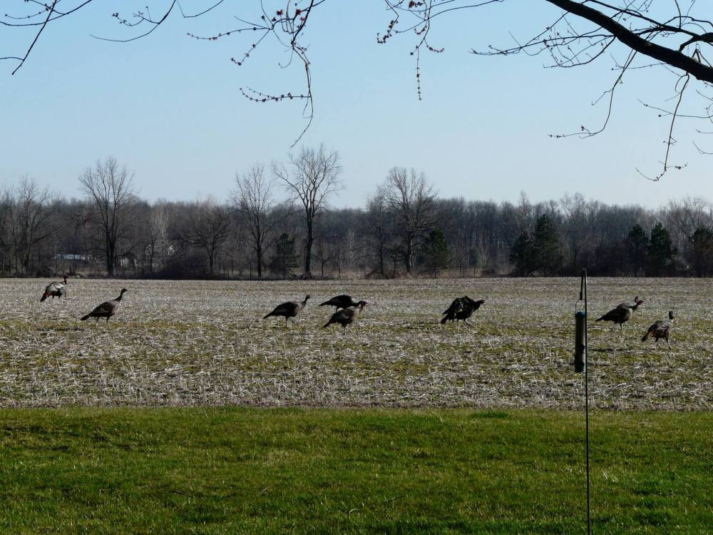 rafter of turkeys