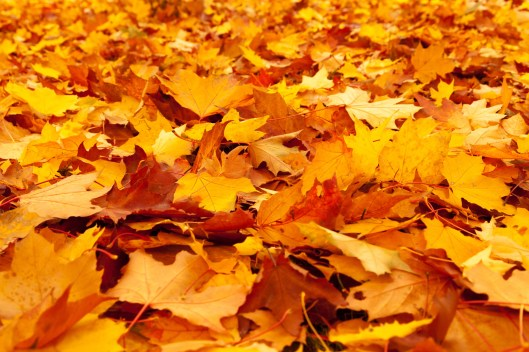 yellow_maple_leaves_210243