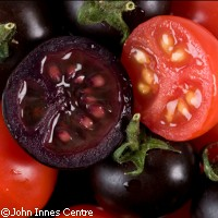 purple tomatoes