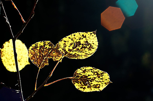 Backlit leaves with heptagon flares from the camera