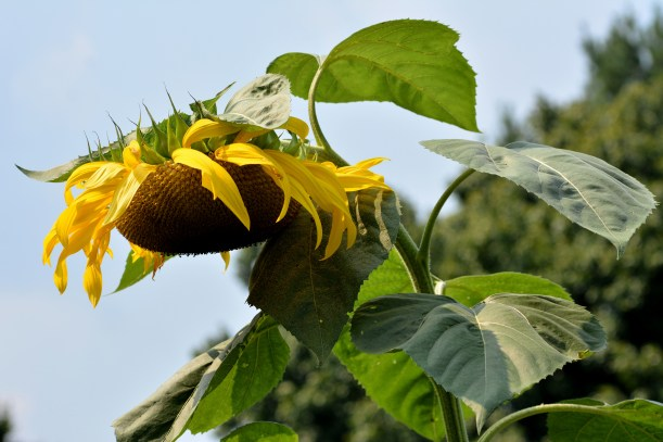Sunflower bowing as the final holiday weekend is upon us. Photo by Mike Hartley