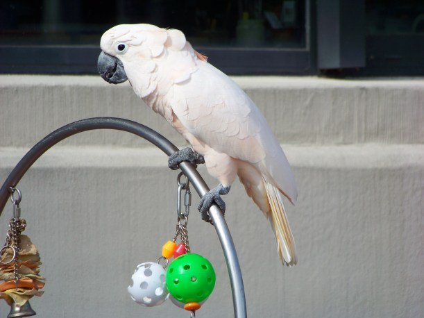 Would this be the only color parrot if Trump is elected? Photo by Mike Hartley
