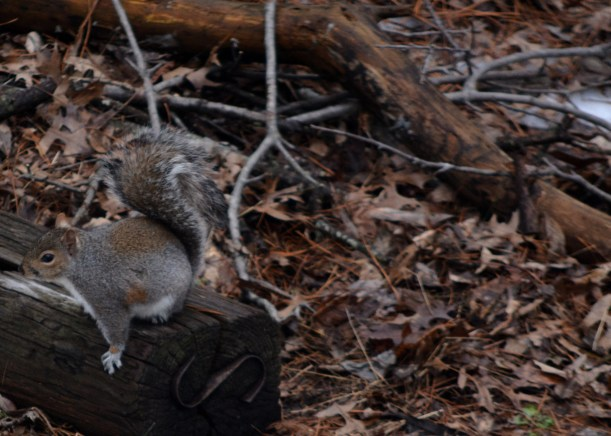 Squirrel out back. And a dozen of his friends in the surrounding trees. Photo by Mike Hartley