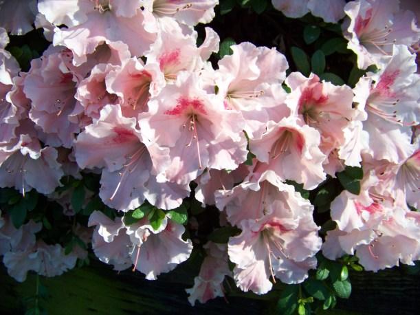Azaleas Photo by Mike Hartley