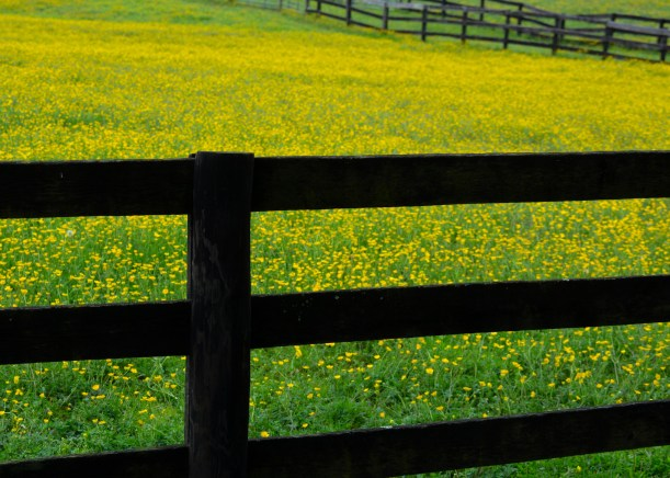 Fence and Buttercups. Photo by Mike Hartley