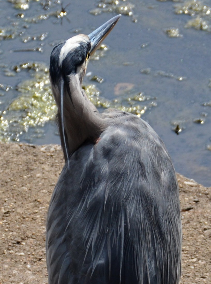 Heron. Photo by Mike Hartley