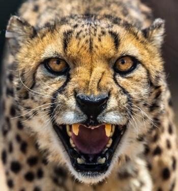 cheetah-2859584_1920