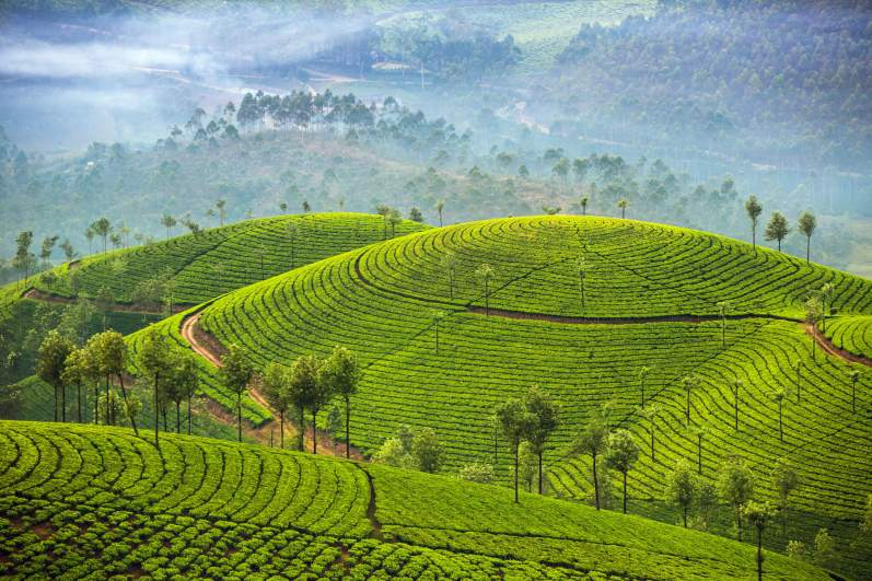 Tea plantations Munnar Kerala India