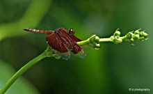 Red dragonfly @ my house garden
