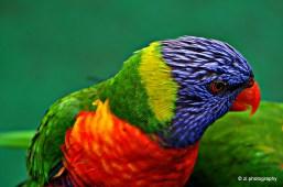 Stunning colorful Lorikeet near Gold Coast