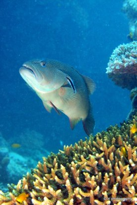 Grouper at Hardy Reef