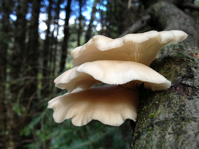 oyster mushrooms foraging forage december forager thrifty sustainability free food wild