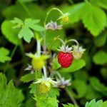 Wild Strawberry foraging in June in the UK forage bushcraft thrifty alpine strawberry