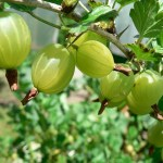 Gooseberry gooseberries forage foraging bushcraft forager wild food uk