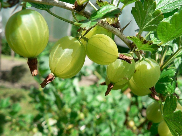 Gooseberry gooseberries forage foraging bushcraft forager wild food uk