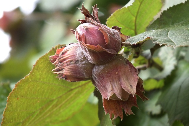 Hazelnut Hazelnuts foraging for free food wildfood bushcraft forager forage survival gather harvest nut nuts