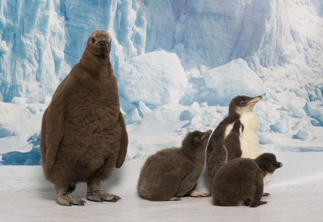 20140110_Baby Penguins_01