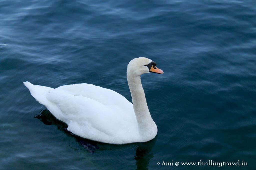 Swan gliding along River Seuss, Lucerne.