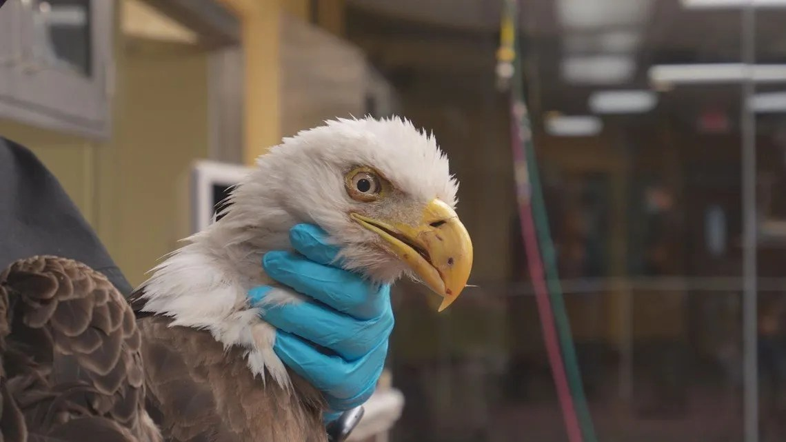 Eagle treated at Busch Gardens Tampa Bay recovering well