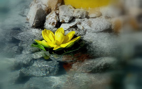 yellow water lily in rock