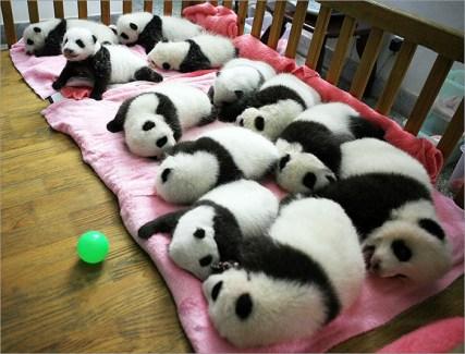 tiny pandas