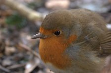 robin close