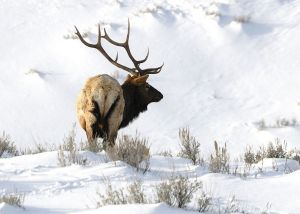 A Large Bull Elk Feeding In The Snow Of Late Winter, Somewhere In The Rocky Mountain West