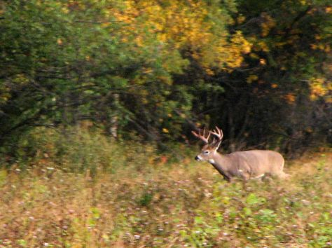 A Trophy White-tailed Deer leaving a field, and like most whitetail bucks, never very far from brush and cover.