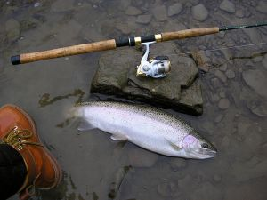 A gorgeous steelhead succumbs to a spinning rod and light tackle.