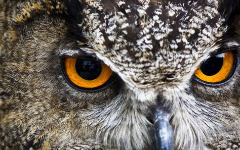 A closeup of the eyes of an owl