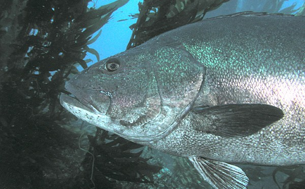 A Giant Black Sea Bass Cruises The Kelp Beds Off The California Coast