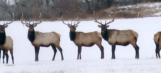 Colorado bull elk in Winter