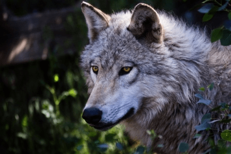 Closeup of Grey Wolf
