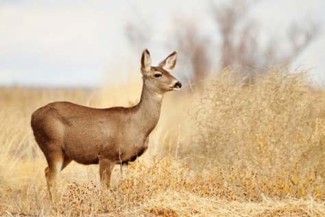 A Mule Deer Doe Strikes a Pensive Pose Somewhere in the West